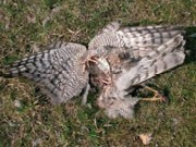 Dead goshawk under a turbine